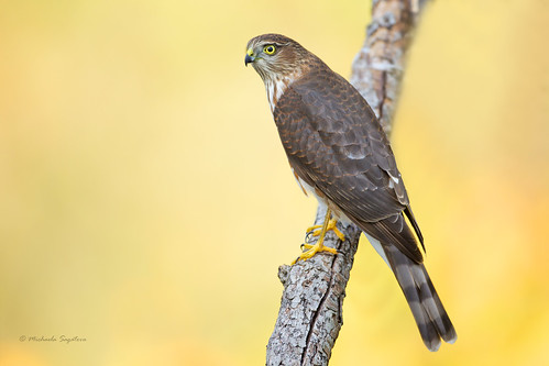_53F7904 Sharp-shinned Hawk juvie EXPLORED