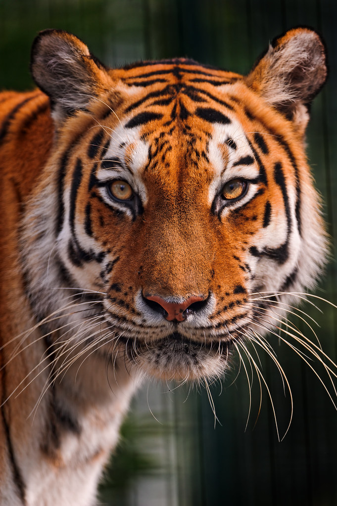 Tigress with round head