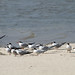 Small photo of Terns