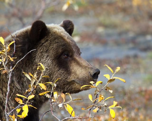 Autumn Brown Bear