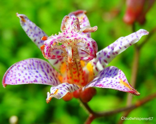 The Rainbow Flower - the Gorgeous & Mysterious Tricyrtis
