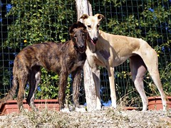 dog sports, animal sports, dog breed, animal, magyar agã¡r, dog, polish greyhound, whippet, galgo espaã±ol, sloughi, pet, lurcher, greyhound, carnivoran, azawakh,