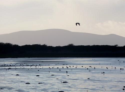 Birdlife, Solway Firth