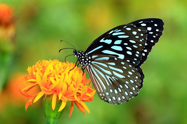 "Butterfly : ""Butterflies are self propelled flowers."""
