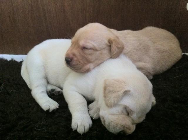 Labrador puppies | Flickr - Photo Sharing!