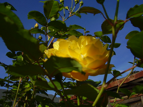 Sept 11 275 Rosa 'Graham Thomas'