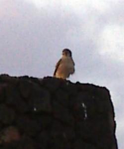 Falco tinnunculus 6165243914_0c40693848_o