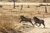 Warthogs by Vertical Planar - planars.wordpress.com