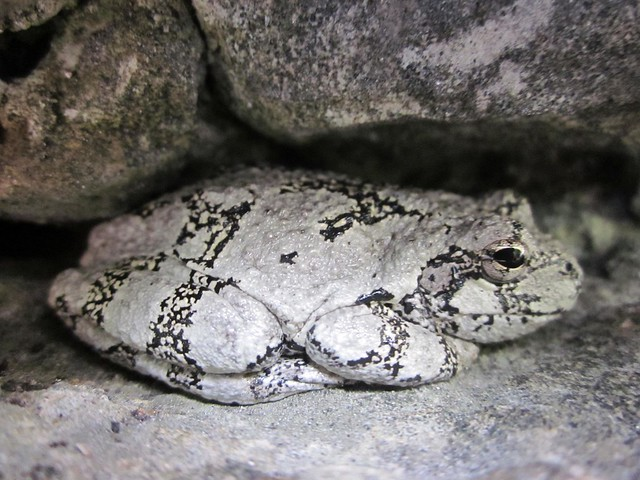 how to catch a grey tree frog