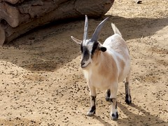 animal, mammal, horn, goats, domestic goat, fauna, wildlife,