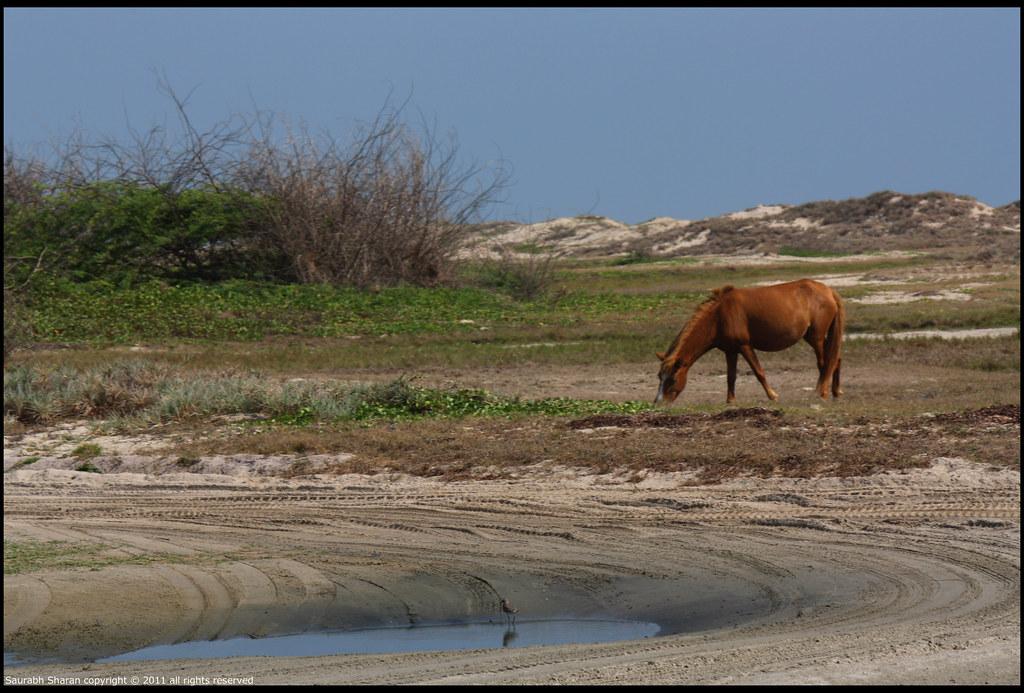 Wild Horses and a Sandpiper
