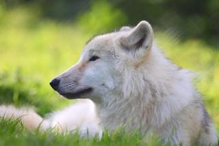 UK Wolf Conservation Trust 16-10-11