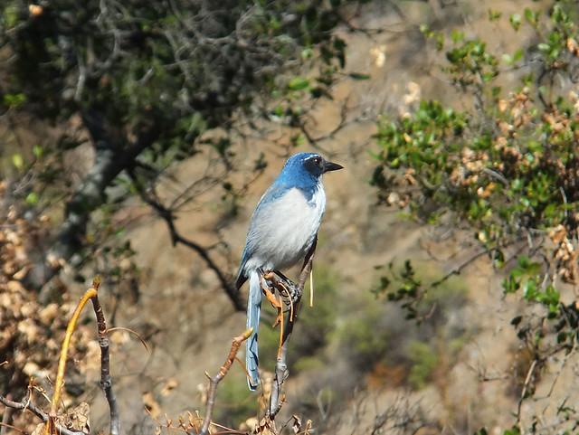 California Blue Bird Flickr Photo Sharing