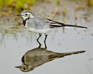 White wagtail - reflection