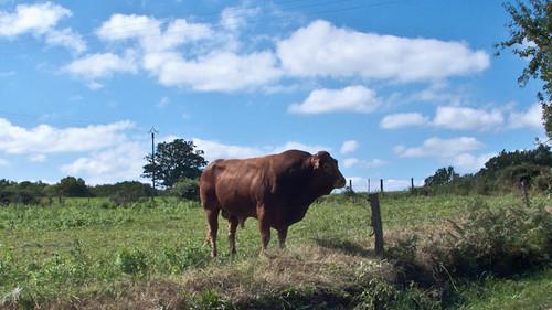 France, Limousin bull