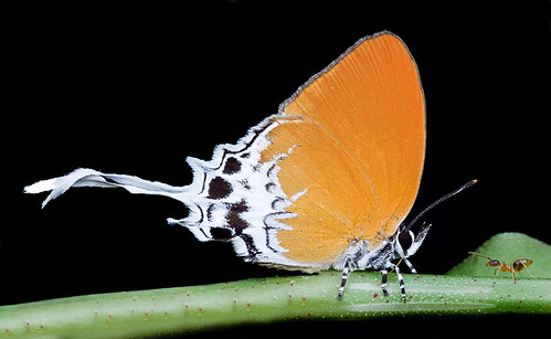 Branded Imperial butterfly and a yellow crazy ant..IMG_0337merged copy
