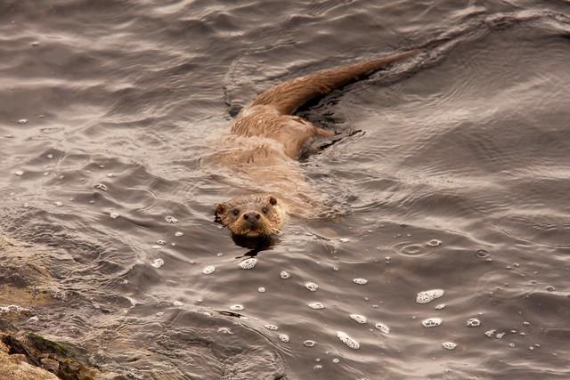 Otter, Yell Sound, Shetland, Scotland | Flickr - Photo Sharing! Otter Sounds