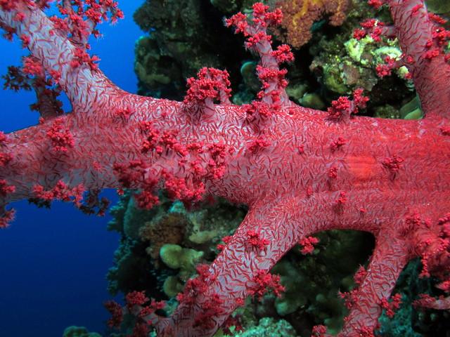 Dendronephthya en el arrecife de Elphinstone, Egipto. Los arrecifes coralinos del Mar Rojo.