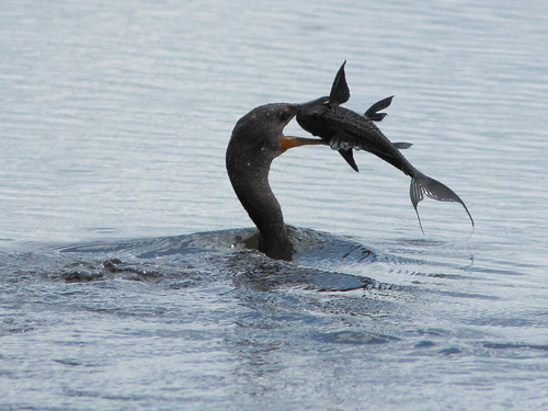 Cormorant (Phalacrocorax auritus) vs Plecostomus 20110925 103439AM