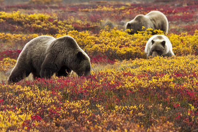 Osos grizzly entre flores silvestres. Parque Nacional Denali. Alaska