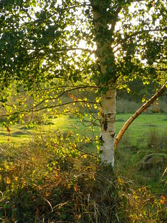 Silver Birch and golden light