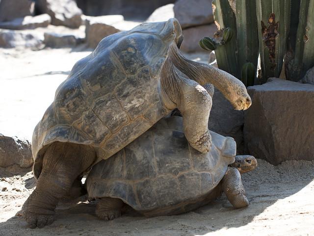 Tortoise Sex 4