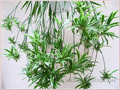 Chlorophytum comosum 'Variegatum' (White/White-edged Spider Plant, Variegated Spider Ivy, Ribbon/Airplane Plant), with countless baby spiders