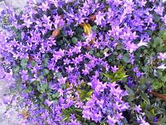 annual plant, shrub, flower, purple, plant, campanula poscharskyana, herb, wildflower, flora, bellflower,