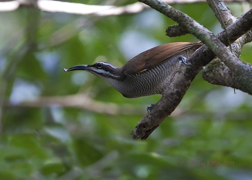 Magnificent Riflebird (female)