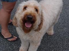 norfolk terrier(0.0), lakeland terrier(0.0), miniature poodle(1.0), dog breed(1.0), animal(1.0), dog(1.0), schnoodle(1.0), petit basset griffon vendã©en(1.0), pet(1.0), glen of imaal terrier(1.0), mammal(1.0), poodle crossbreed(1.0), catalan sheepdog(1.0), sapsali(1.0), dandie dinmont terrier(1.0), irish soft-coated wheaten terrier(1.0), cockapoo(1.0), goldendoodle(1.0), terrier(1.0),