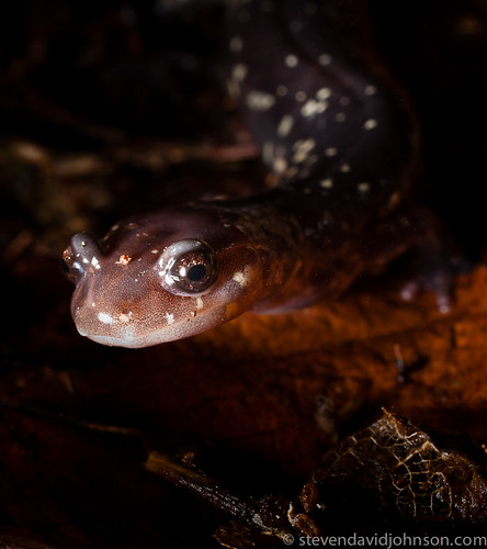 Cow Knob Salamander, Reddish Knob on Shenandoah Mountain