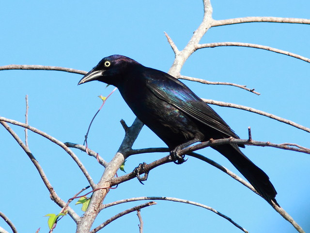 Common Grackle 20110923