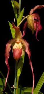 Phragmipedium  Ashley Wilkes