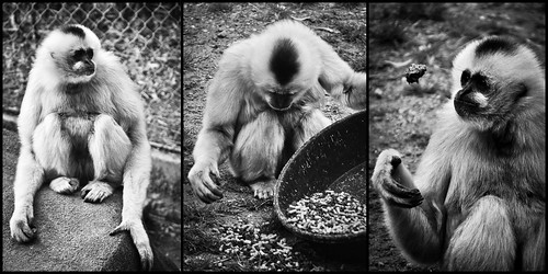 Funny monkey, Triple Monkey
