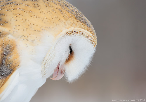 Barn Owl repose