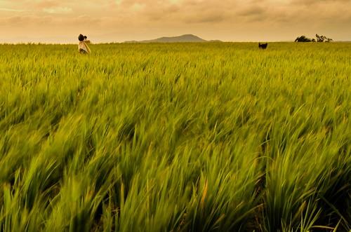majayjay ricefieldphilippines