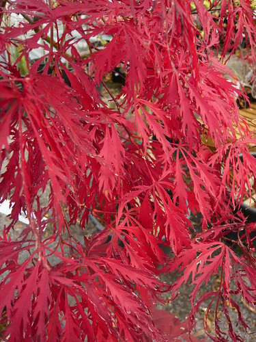 Acer palmatum disectum