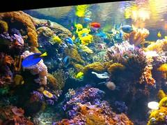 coral reef(1.0), coral(1.0), coral reef fish(1.0), marine biology(1.0), aquarium lighting(1.0), natural environment(1.0), underwater(1.0), reef(1.0), pomacentridae(1.0), aquarium(1.0),