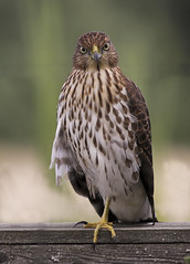 Sharp-shinned Hawk (Accipiter striatus) In A Staredown