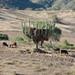 Storing hay in a cactus - guardando mazorca en un cactus gigante; cerca de Santa Cruz Tacache de Mina, Oaxaca, Mexico por Lon&Queta