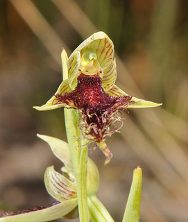 calochilus robertsonii-southern beardie