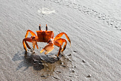 seafood(0.0), dungeness crab(0.0), food(0.0), crab(1.0), animal(1.0), ocypodidae(1.0), crustacean(1.0), sand(1.0), invertebrate(1.0), macro photography(1.0), fauna(1.0), close-up(1.0), fiddler crab(1.0),
