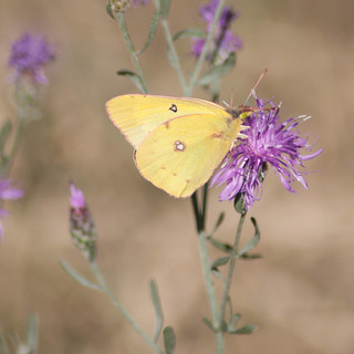Clouded Sulphur on Spotted Knapweed... Montana, 2011.