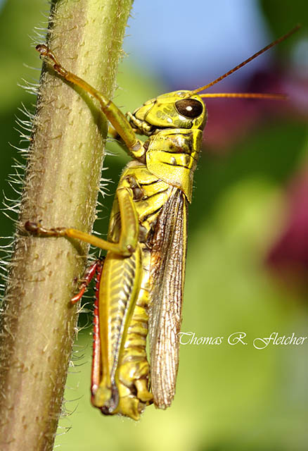 Red-legged Locust