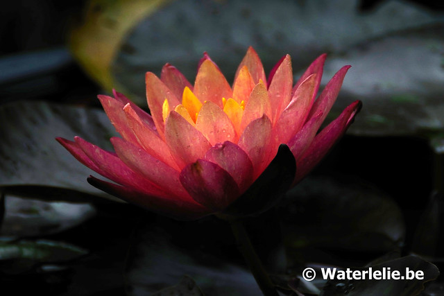Waterlelie Wanvisa / Nymphaea Wanvisa