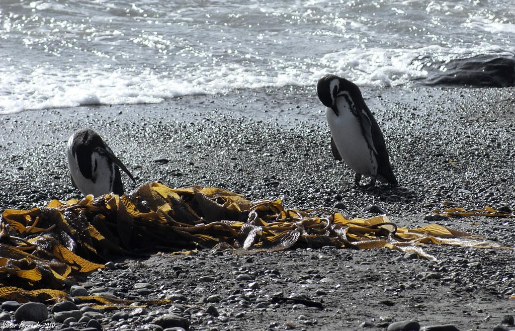 Pinguinera Seno Otway - Punta Arenas - Patagonia Chilena