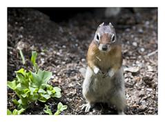 prairie dog(0.0), animal(1.0), squirrel(1.0), fox squirrel(1.0), rodent(1.0), fauna(1.0), marmot(1.0), chipmunk(1.0), gerbil(1.0), wildlife(1.0),