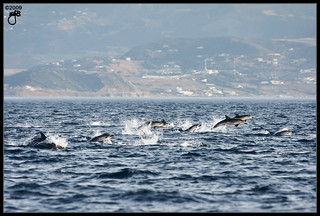 Striped Dolphins V