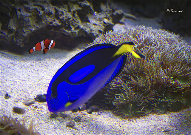 Clown blue tang flickr photo sharing for Blue clown fish