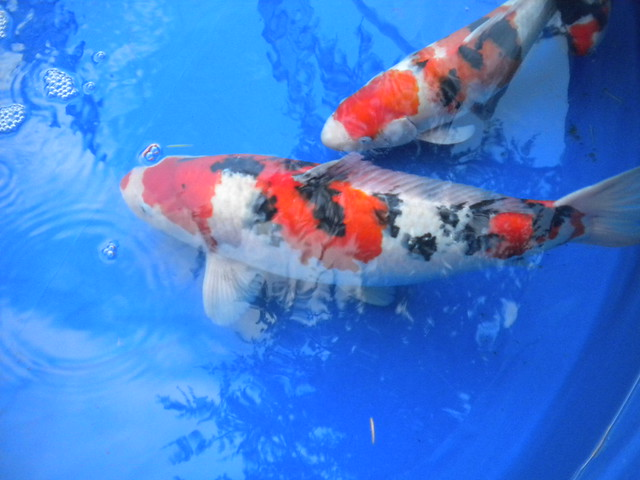 Koi fish in a blue tank flickr photo sharing for Blue and white koi fish